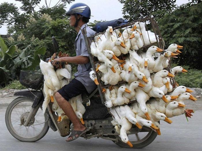 motosiklette tavuk taşımak