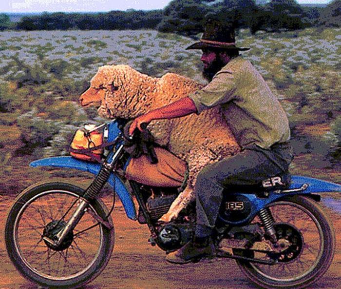 motosiklette koyun taşımak