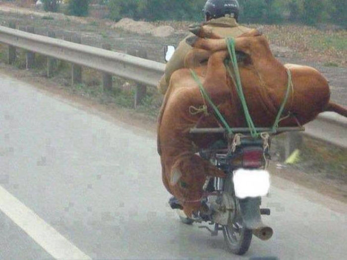 motosiklette inek taşımak